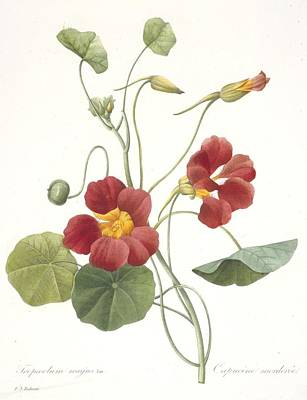 Botanical Drawing - Tropaeolum Majus Garden Nasturtium by Pierre Joseph Redoute
