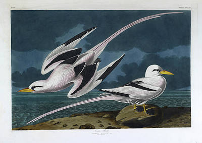 The Birds Photograph - Tropic Bird by British Library