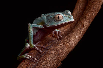 Tropical Amazon Rain Forest Tree Frog Art Print by Dirk Ercken