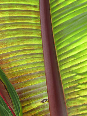 Photograph - Tropical Banana Leaf Abstract by Duane McCullough