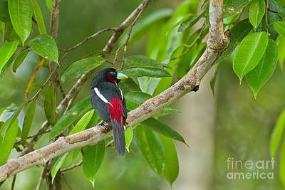 Broadbill Photograph - Tropical Beauty by Ashley Vincent