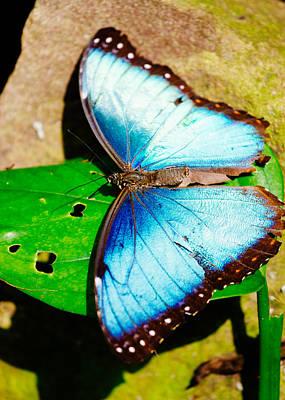 Tropical Blue Butterfly Art Print
