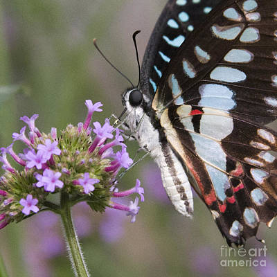 Photograph - Tropical Butterfly by Chris Scroggins