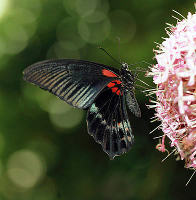 Photograph - Tropical Butterfly by Grant Glendinning
