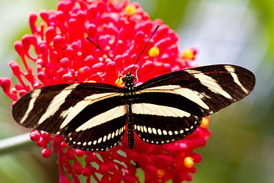 Photograph - Tropical Butterfly by Jared Shomo