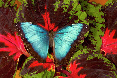 Coleus Photograph - Tropical Butterfly The Blue Morpho by Darrell Gulin