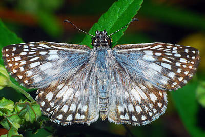 Photograph - Tropical Checkered Skipper by Larah McElroy
