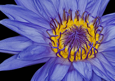 Waterlilies Photograph - Tropical Day Flowering Waterlily by Susan Candelario