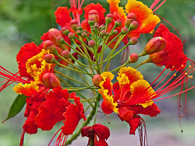 Photograph - Tropical Flower Caesalpinia Red And Yellow by Valerie Garner