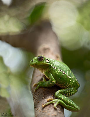 Frogs Photograph - Tropical Green Tree Frog by Dirk Ercken