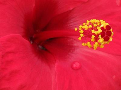 Photograph - Tropical Hibiscus - Antigua Wind 01 by Pamela Critchlow