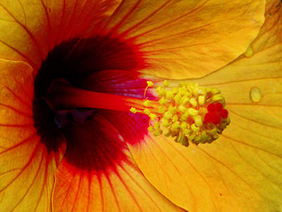 Photograph - Tropical Hibiscus - Aruba Wind 01a by Pamela Critchlow