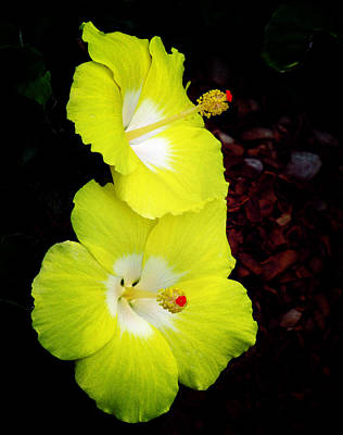 Photograph - Tropical Hibiscus - Bonaire Wind 05a by Pamela Critchlow