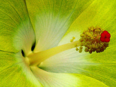 Photograph - Tropical Hibiscus - Bonaire Wind 06a by Pamela Critchlow