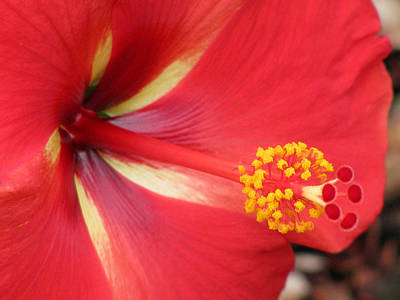 Photograph - Tropical Hibiscus - Starry Wind 04 by Pamela Critchlow