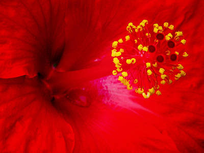 Photograph - Tropical Hibiscus - Trinidad Wind 02a by Pamela Critchlow