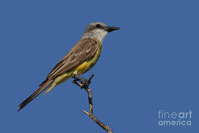 Photograph - Tropical Kingbird by Meg Rousher