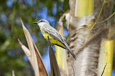 Kingbird Photograph - Tropical Kingbird by Teresa Zieba