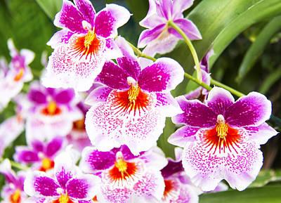 Fushia Photograph - Tropical Miltoniopsis Purple Orchids by Daphne Sampson