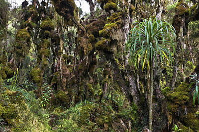 Tropical Mountain Forest, Rwenzori Art Print by Martin Zwick
