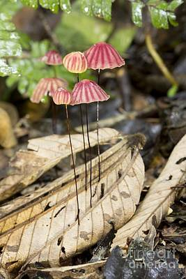 Marasmiaceae Photograph - Tropical Mushrooms (marasmius Sp.) by Dr Morley Read