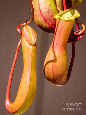 Tropical Pitcher Plant			 Art Print by Zina Stromberg