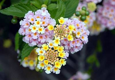 Photograph - Tropical Plant Lantana Camara Or West Indian Lantana  by Tracey Harrington-Simpson