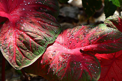 Caladiums Photograph - Tropical Rain - Botanical Art By Sharon Cummings by Sharon Cummings