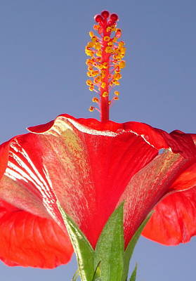 Photograph - Tropical Red Hibiscus Flower Against Blue Sky  by Tracey Harrington-Simpson