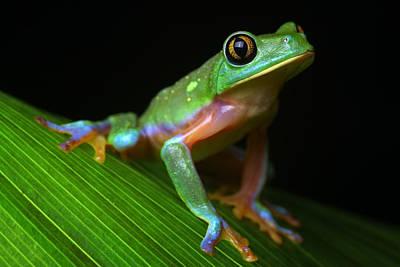 Tropical Tree Frog Print by Dirk Ercken