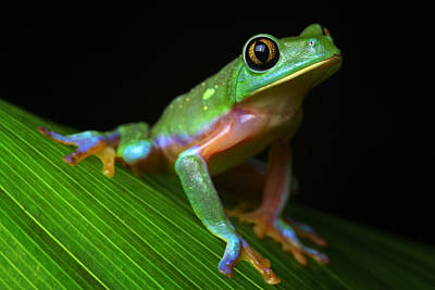 Tropical Tree Frog Art Print