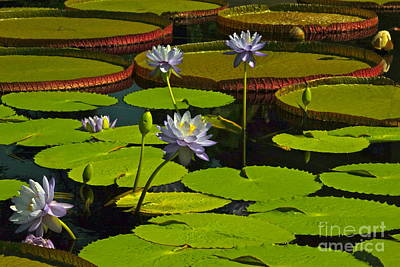 Photograph - Tropical Water Lily Flowers And Pads by Byron Varvarigos