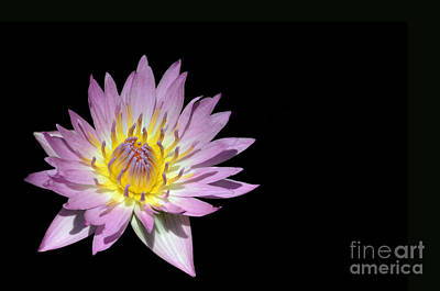 Wall Art - Photograph - Tropical Water Lily Isolated On Black by Susan Montgomery