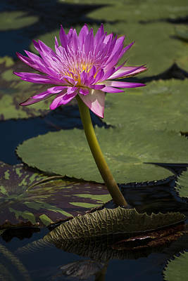 Photograph - Tropical Water Lily by Penny Lisowski