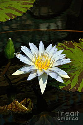 Photograph - Tropical Waterlilies And Blue Dragonfly by Byron Varvarigos