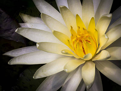 Photograph - Tropical White Water Lily by Jean Noren