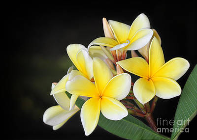 Florida Flowers Photograph - Tropical Yellow Frangipani by Sabrina L Ryan
