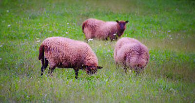 Sheep Digital Art - Trouble Comes In Three's by Bill Cannon