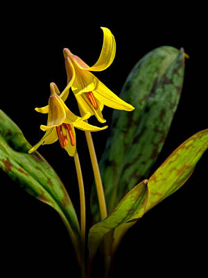 Photograph - Trout Lilies by Carolyn Derstine