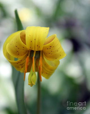 Photograph - Trout Lily by A K Dayton