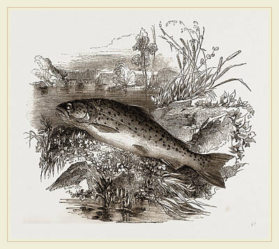 Trout Drawing - Trout by Litz Collection