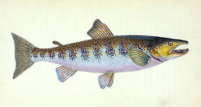 Trout Fishing Drawing - Trout, Salmo Fario, British Fishes, Donovan by Artokoloro