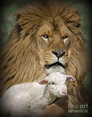 Lion And The Lamb Photograph - True Companions by Wildlife Fine Art