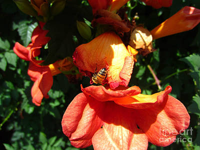 Trumpet Flower Orange And Visiting Bee Art Print