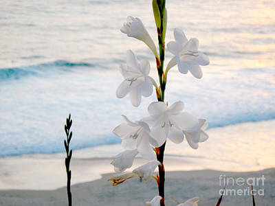Photograph - White Trumpet-shaped Flowers At Dana Point Beach California  by Conni Schaftenaar