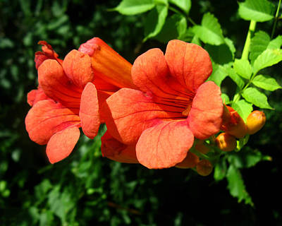 Art Print featuring the photograph Wild Trumpet Vine by William Tanneberger