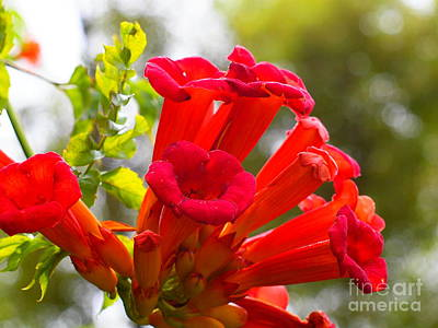 Photograph - Trumpet Vine by Tammy Bullard