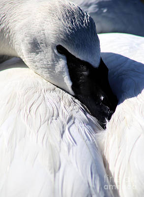 Photograph - Trumpeter Swan At Rest by Sue Harper