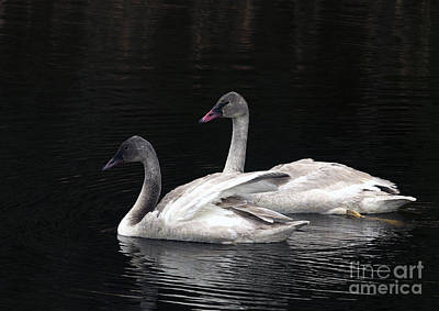 Trumpeter Swan Cygnets Art Print by Sharon Talson