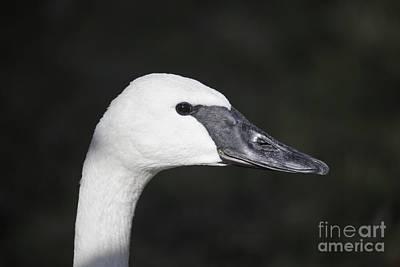 Bird Photograph - Trumpeter Swan  Cygnus Buccinator by Liz Leyden